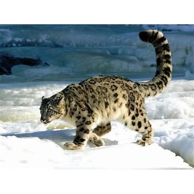 An Animal A Day: The Snow Leopard