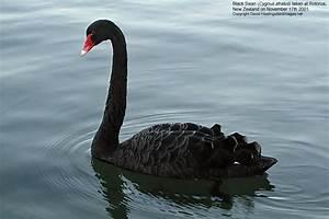 David Hastings' Bird Images - Black Swan (Cygnus atratus)