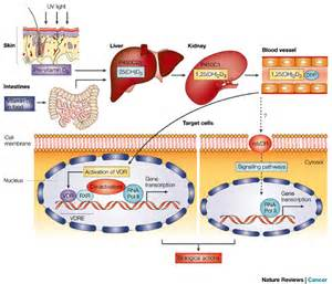 Figure 2 : Chemoprevention of colon cancer by calcium, vitamin D and ...  Colorectal Cancer Vitamin D