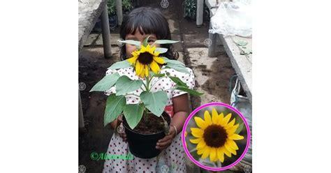 jual tanaman bunga matahari mini hp
