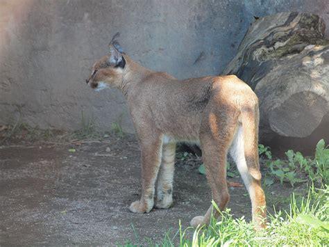 filecaracal caracal toronto zoo ontario canada cjpg