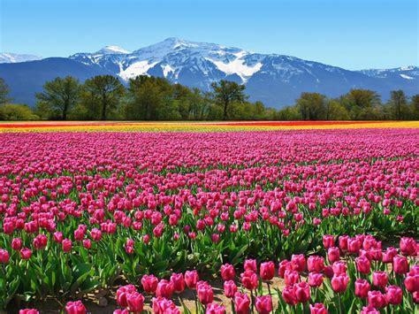 field tulips pink flowers   netherlands wallpaper hd wallpaperscom