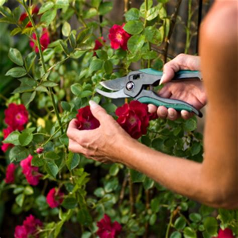 deadheading refers to summer care of roses jackson and perkins