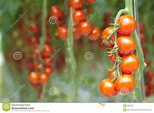 Tomatoes On The Vine Royalty Free Stock Photography ...