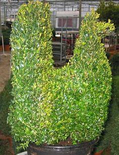 1000+ images about buxus on Pinterest Buxus sempervirens