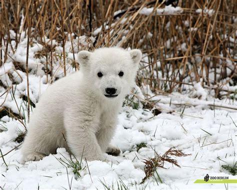 animals knut polar bear baby cute things bears zoo animal cub cubs adorable cutest polarbear bing really