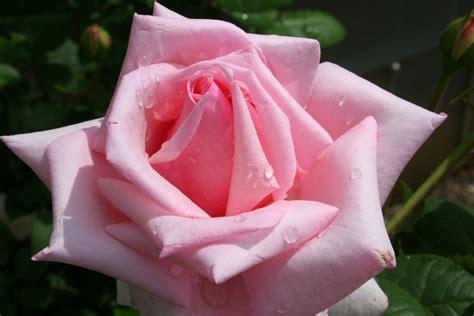 light pink roses roses archives freytags florist