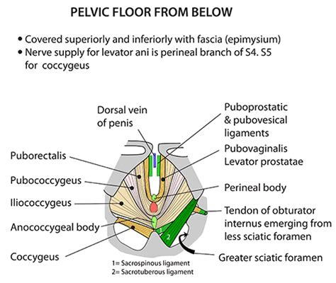 instant anatomy abdomen muscles pelvic floor from below