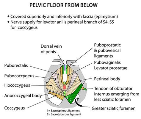 Muscles Of The Pelvic Floor Quiz by Instant Anatomy Abdomen Muscles Pelvic Floor From Below