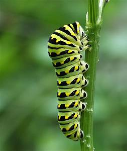 How To Use Fennel  Or Dill  To Keep Caterpillars Off Your Vegetable Plants