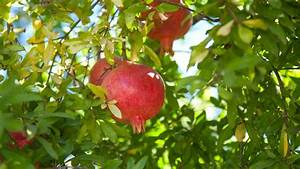 Grow a Pomegranate Tree! | Organic Gardening Blog