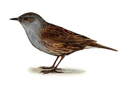 peļkājīte - Prunella modularis (L.) - Putni - Latvijas daba