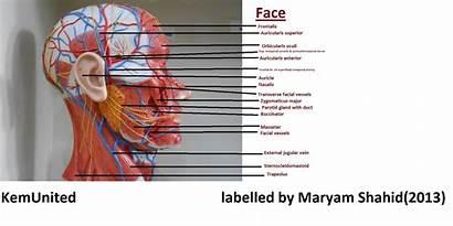 Labelled Anatomy Head Neck Models Learning Kemunited
