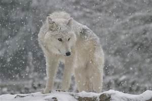 Bébé Loup Blanc : les plus belles photos de loups ~ Farleysfitness.com Idées de Décoration