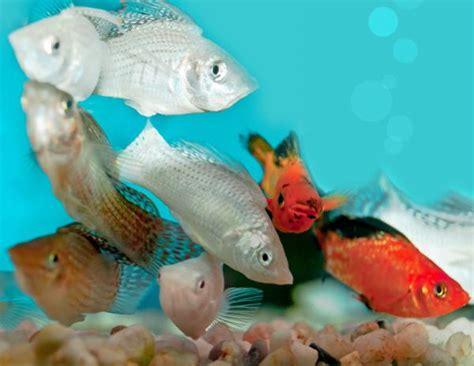 peces  acuarios pequenos