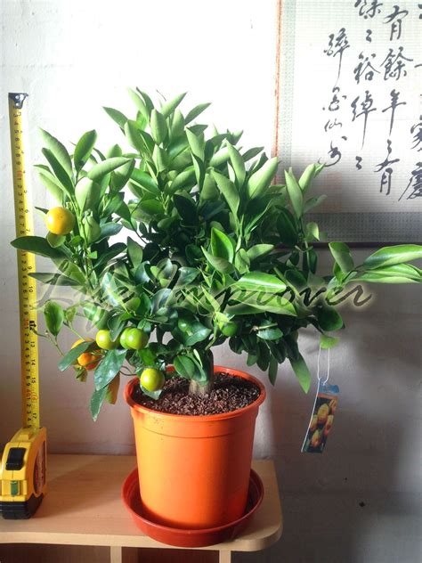1 nain permanent calamondin agrumes orange fruit arbre plante en pot int 233 rieure ebay