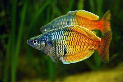 black 5 gallon peces de agua dulce para acuario acuariosbaratos