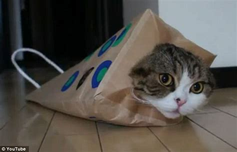 Is Maru The Internet's Most Famous Cat? Japanese Moggie