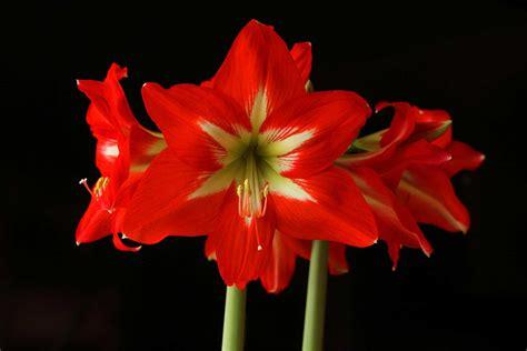 amaryllis plant care amaryllis planting and care hebert s garden center