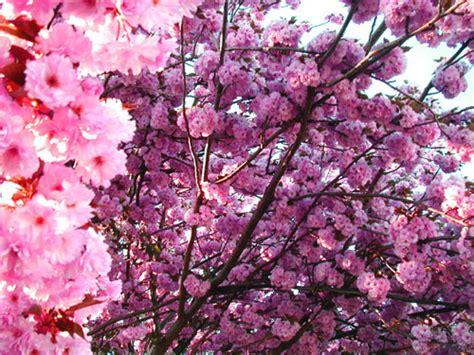 baum mit rosa blüten rosa baum pflanzen f 252 r nassen boden