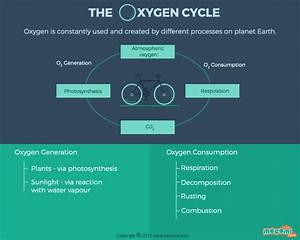 Oxygen Cycle Steps And Facts