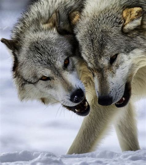 wolves images  pinterest wild animals