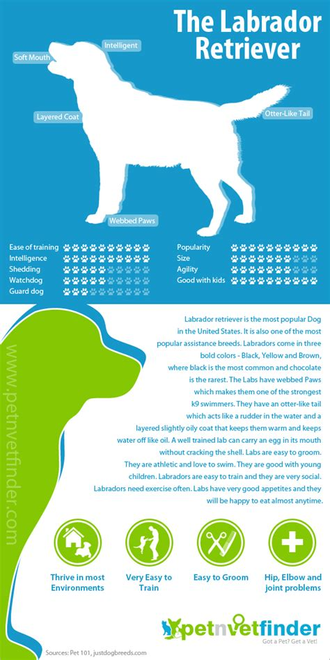 labrador retriever infographic infographic list