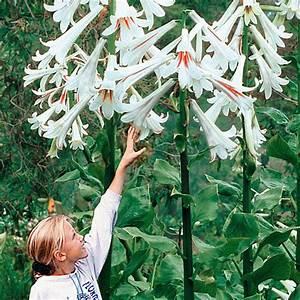 Lilie Topfpflanze Kaufen : afrikanische lilie schmucklilie afrikanische lilie blau ~ Lizthompson.info Haus und Dekorationen
