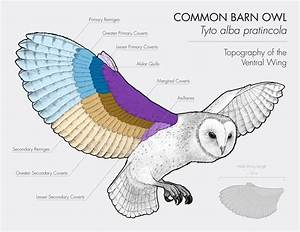 Barn Owl  Owl  Scientific Illustration  Wing Diagram