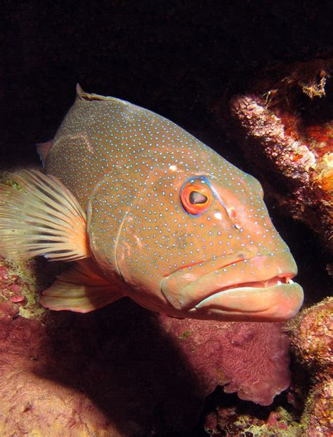 coral trout fish reef barrier cairns firm eating flesh likely seafood enter stay restaurant menu any during
