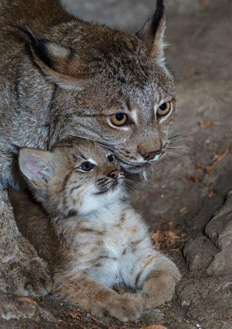 lynx cub   debut zooborns