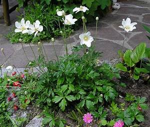 Frühblühende Sträucher Frühjahr : saatgut samen wald windr schen anemone sylvestris ~ Michelbontemps.com Haus und Dekorationen