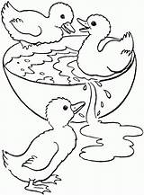 Coloring Pages Swimming Duckling Duck Bowl Ducklings Printable Colouring Ducks Swim Cute Animal Ugly Three Sheets Adult Baby Easter Clip sketch template