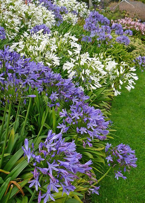 agapanthus garden agapanthus flowers tips for growing agapanthus plants
