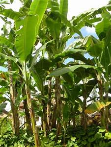 Bambus Braune Blätter : bananenblatt christian locker gmbh ~ Frokenaadalensverden.com Haus und Dekorationen