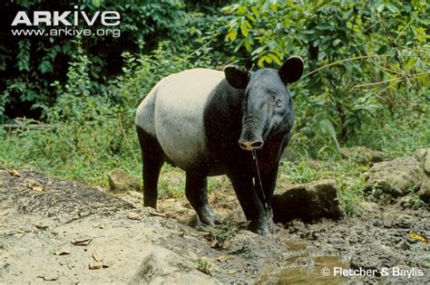 Asian Tapir Videos, Photos And Facts