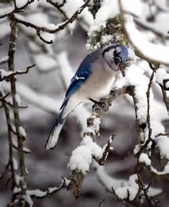 Snow Blue Jay Birds