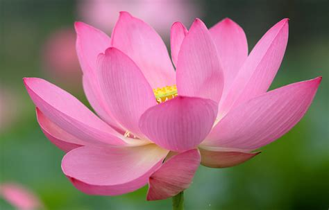 lotus flower colors pictures pink color nelumbo flowers macro photography closeup