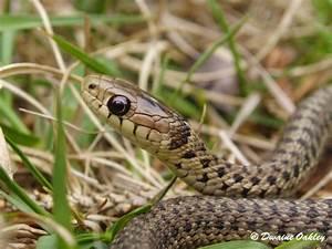 Macphail Woods: Common Garter snake