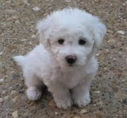max the bichon frise puppies daily puppy