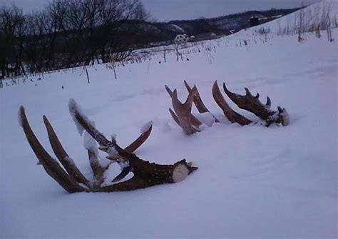 When Do Deer Shed Their Antlers Ontario by To A Shed Ethic Winchester