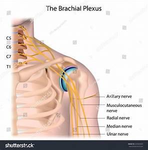 Nerves Brachial Plexus Labeled Stock Illustration