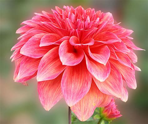 flower information and pictures beautiful dahlia information about dahlia flowers if ev flickr