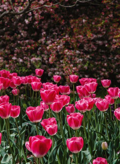top tulips australia country magazine