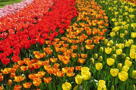 tulip season in usa top 11 most beautiful tulips fields in the netherlands