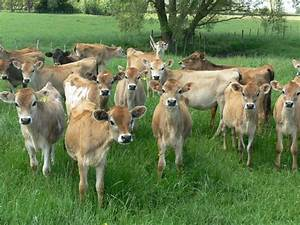 Woolshed 1  Cattle Farm Husbandry  U2013 Calf Rearing  Feeds
