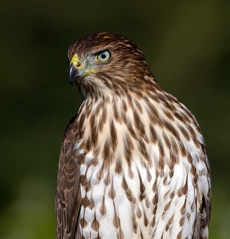 the summer of the coops watching a cooper s hawk nest