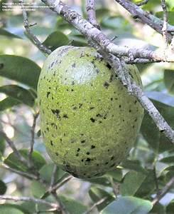 PlantFiles Pictures: Pond Apple, Alligator Apple (Annona ...