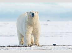 Penguins & polar bears Same same but different