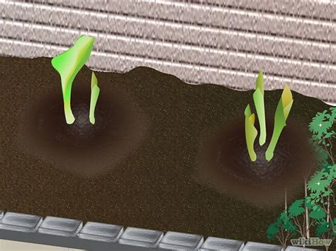 growing calla lilies indoors how to grow calla lilies